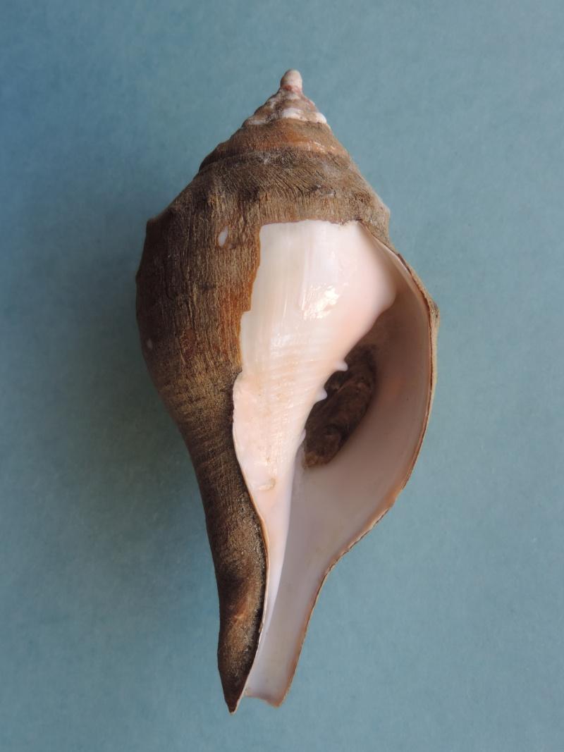 Turbinella pyrum - (Linnaeus, 1767) Dscn0423
