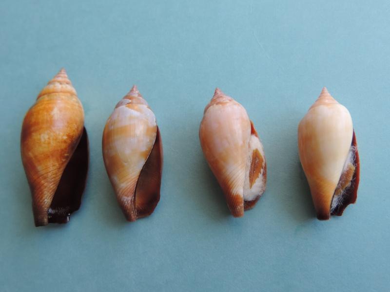 Terestrombus fragilis - (Röding, 1798)  Dscn0611