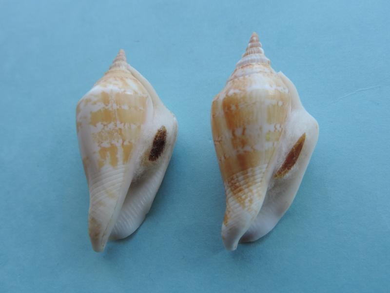 Margistrombus succinctus - (Linnaeus, 1767) Dscn0615