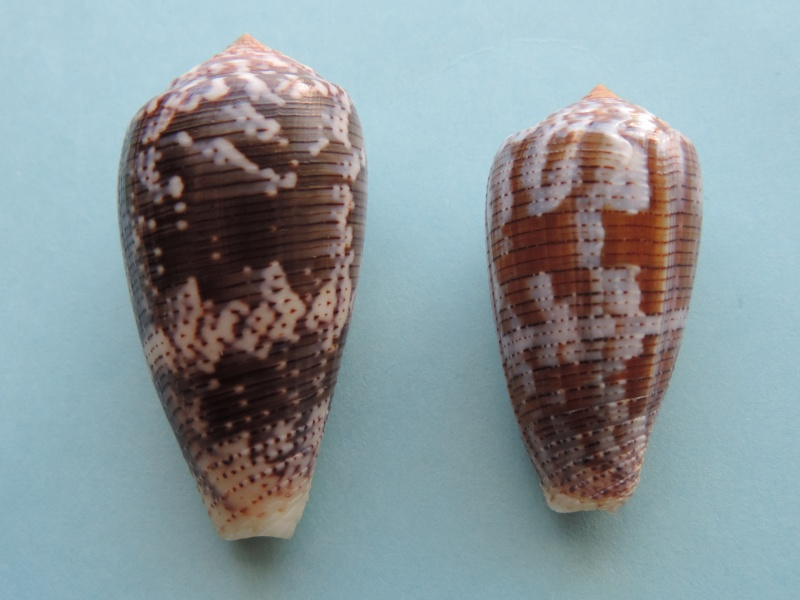 Conus (Pionoconus) achatinus  Gmelin, 1791 - Page 2 Dscn0618