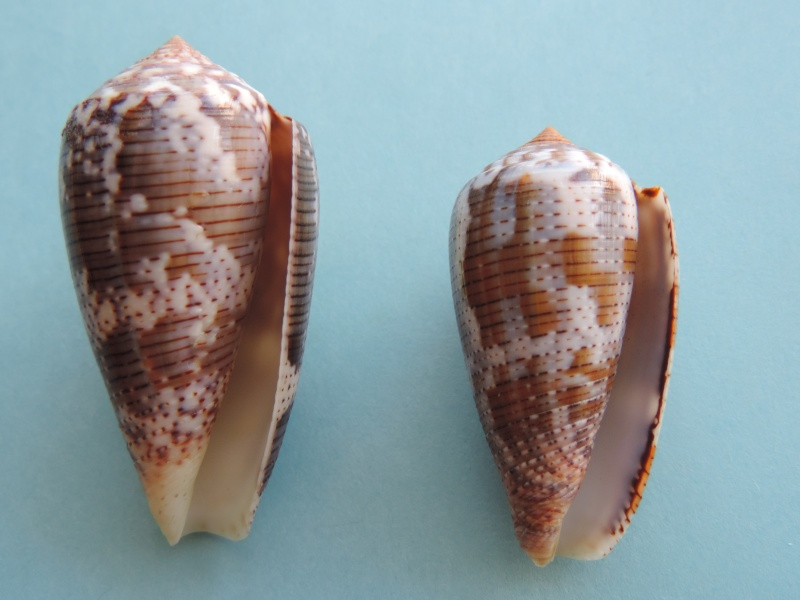 Conus (Pionoconus) achatinus  Gmelin, 1791 - Page 2 Dscn0619
