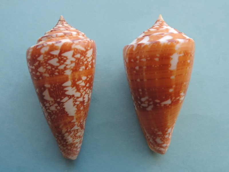 Conus (Leptoconus) castaneofasciatus  Dautzenberg, 1937 - Page 2 Dscn0622
