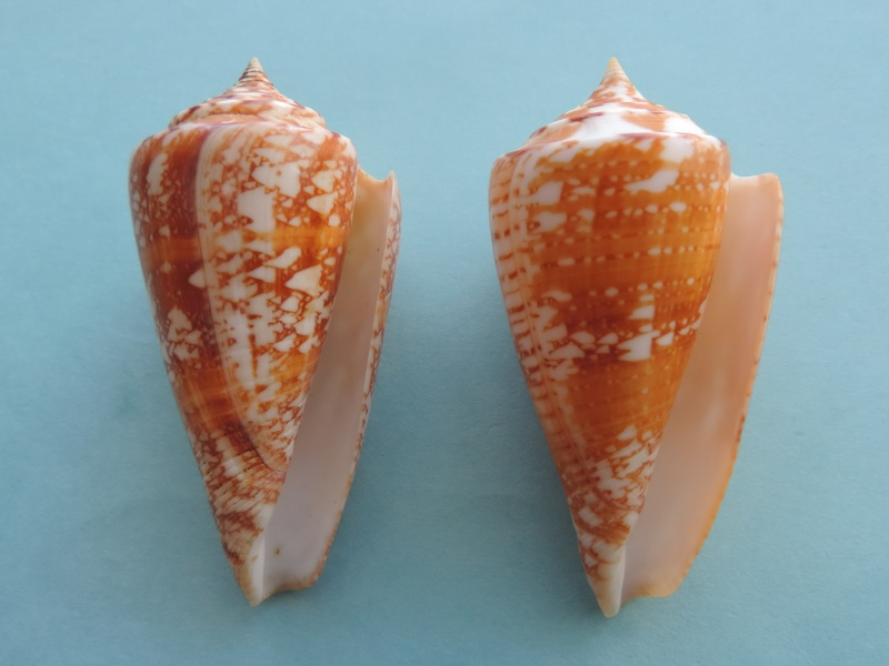 Conus (Leptoconus) castaneofasciatus  Dautzenberg, 1937 - Page 2 Dscn0623