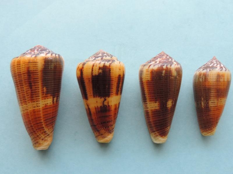 Conus (Pionoconus) circae (Sowerby ll, 1858) voir Conus (Pionoconus) magus - Page 2 Dscn0629