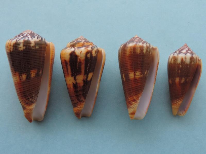 Conus (Pionoconus) circae (Sowerby ll, 1858) voir Conus (Pionoconus) magus - Page 2 Dscn0630