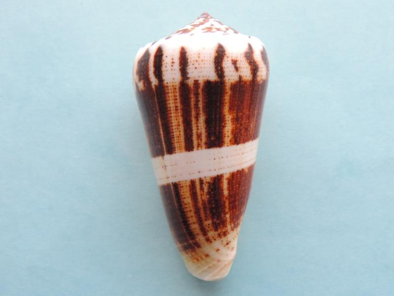 Conus (Pionoconus) magus consul  Boivin, 1864 Conus (Pionoconus) magus Dscn0635