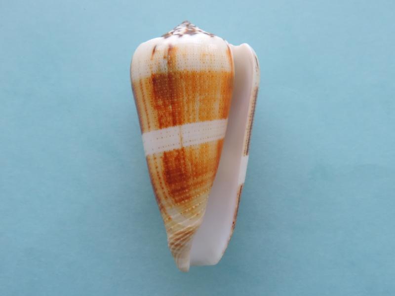 Conus (Pionoconus) magus consul  Boivin, 1864 Conus (Pionoconus) magus Dscn0637