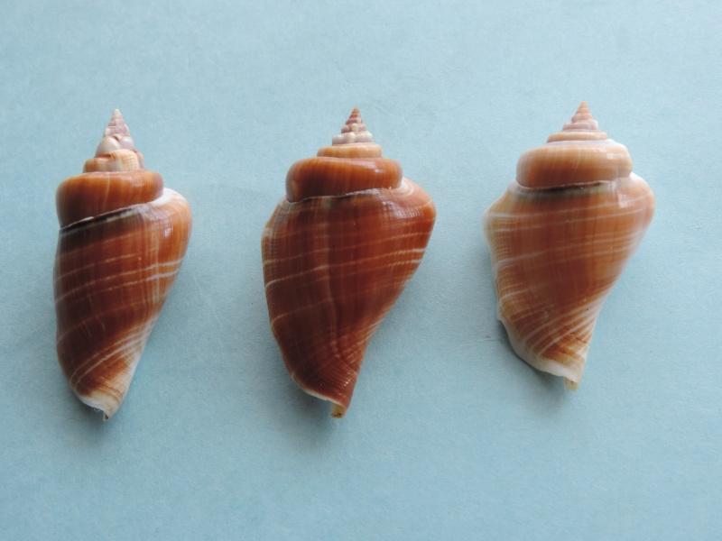 Gibberulus gibberulus gibberulus - (Linnaeus, 1758)  Dscn0726