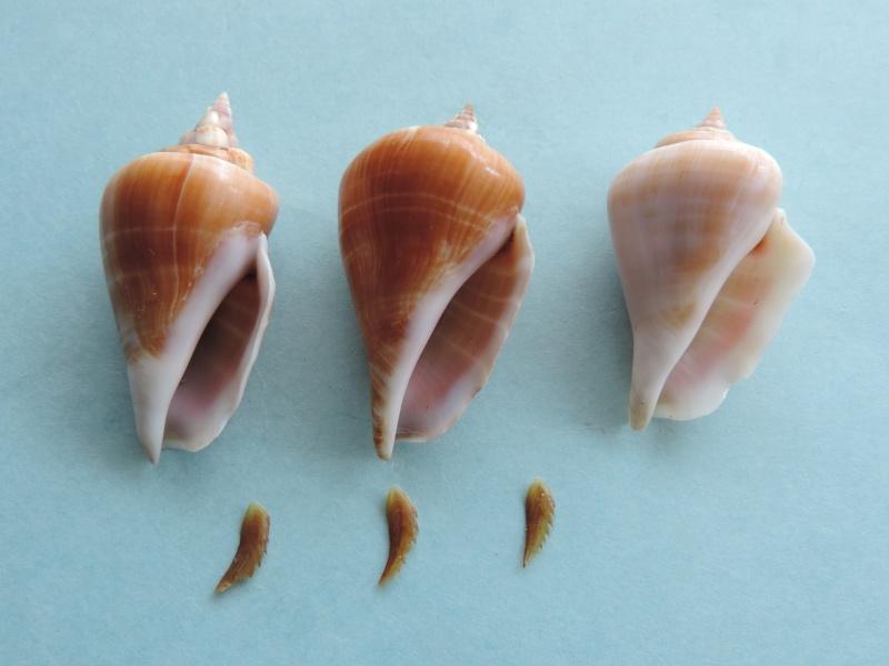 Gibberulus gibberulus gibberulus - (Linnaeus, 1758)  Dscn0727