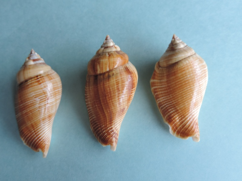 Gibberulus gibberulus gibberulus - (Linnaeus, 1758)  Dscn0728