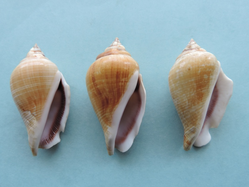Gibberulus gibberulus gibberulus - (Linnaeus, 1758)  Dscn0729