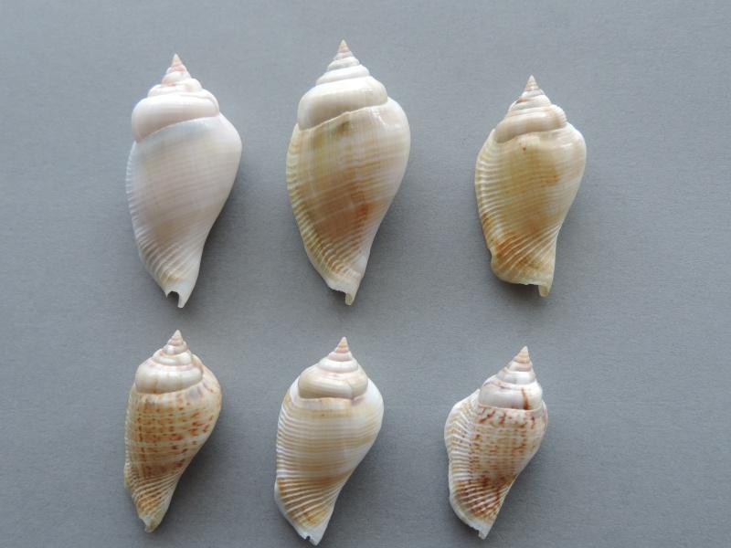 Gibberulus gibberulus gibberulus - (Linnaeus, 1758)  Dscn0730