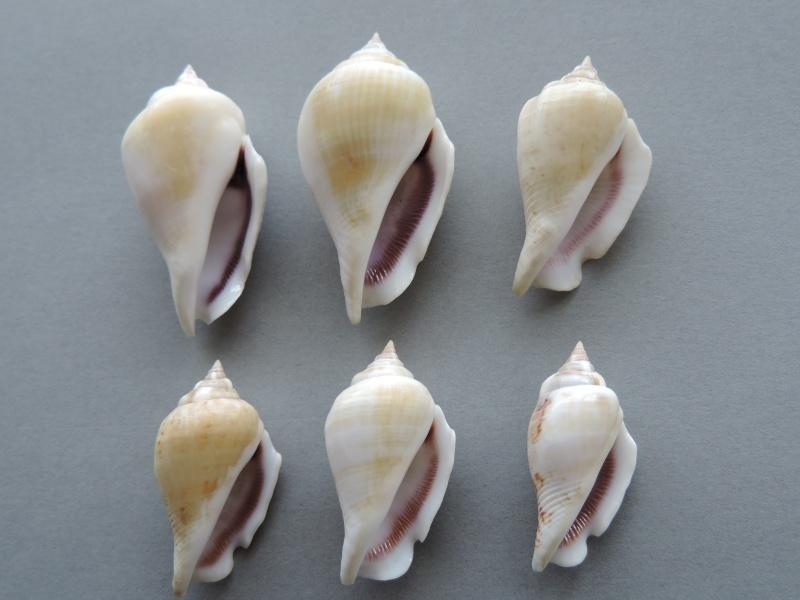 Gibberulus gibberulus gibberulus - (Linnaeus, 1758)  Dscn0731