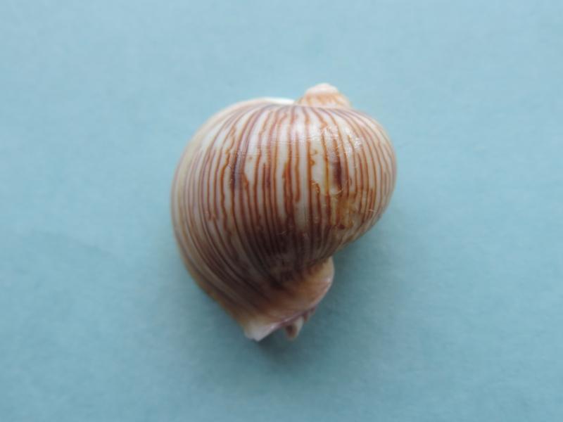 Strepsiduridae - Melapium lineatum - (Lamarck, 1822) Dscn0732