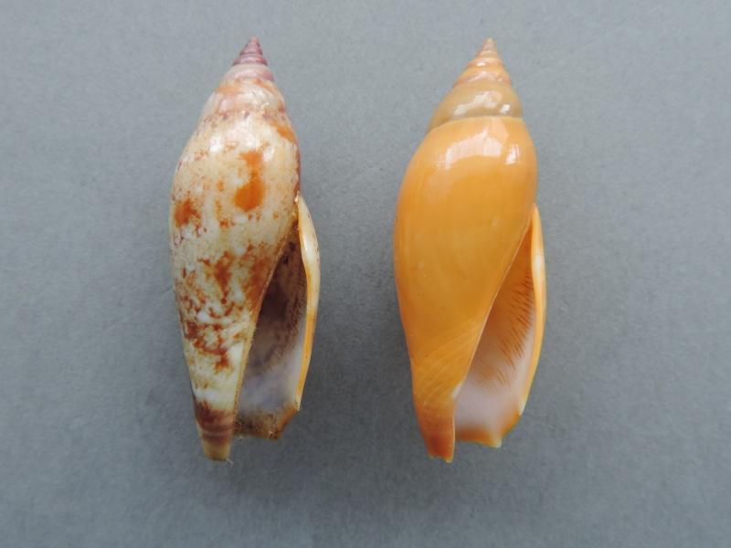 Terestrombus terebellatus - (G.B. Sowerby II, 1842) Dscn0818