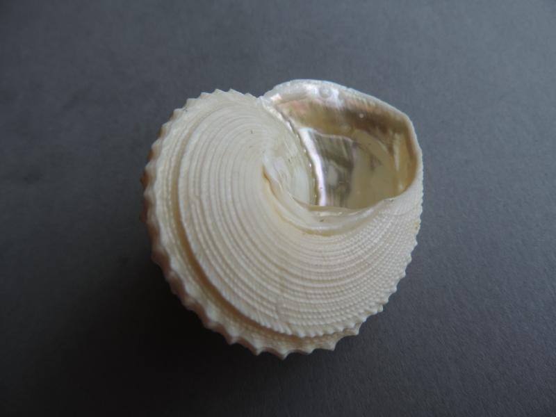Lischkeia alwinae - (Lischke, 1871) Dscn0832