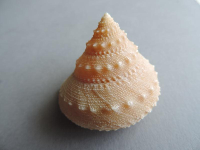Lischkeia alwinae - (Lischke, 1871) Dscn0833