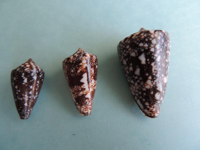 Conus (Leptoconus) locumtenens - Blumenbach, 1791 Dscn0853