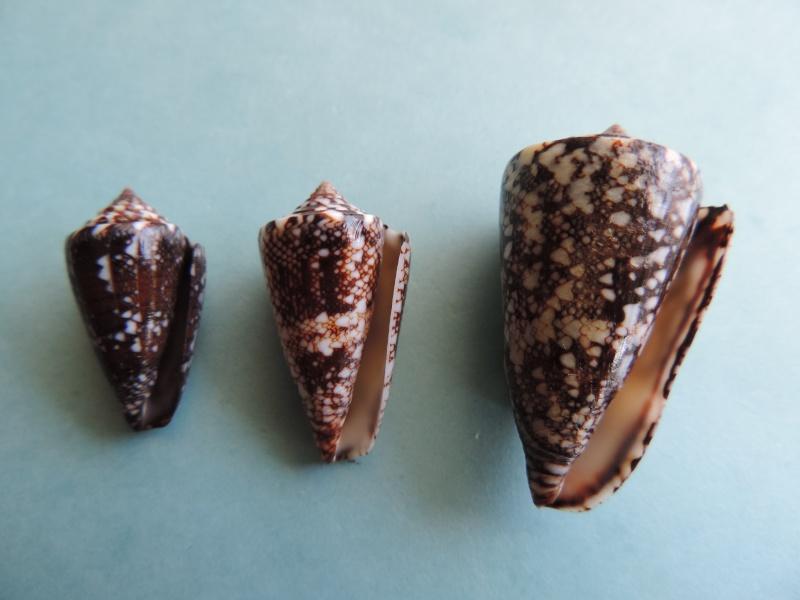 Conus (Leptoconus) locumtenens - Blumenbach, 1791 Dscn0854