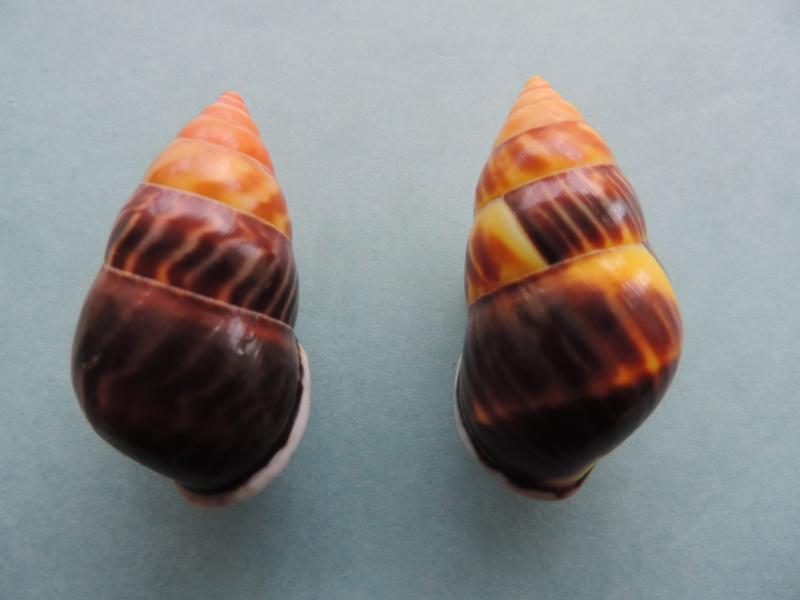 Amphidromus perversus f. melanomma (Pfeiffer, 1852) Dscn0862