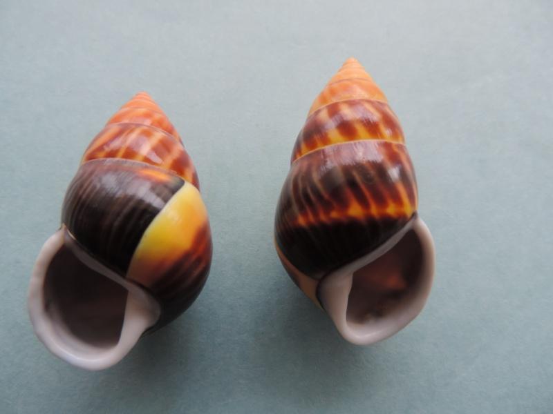 Amphidromus perversus f. melanomma (Pfeiffer, 1852) Dscn0863