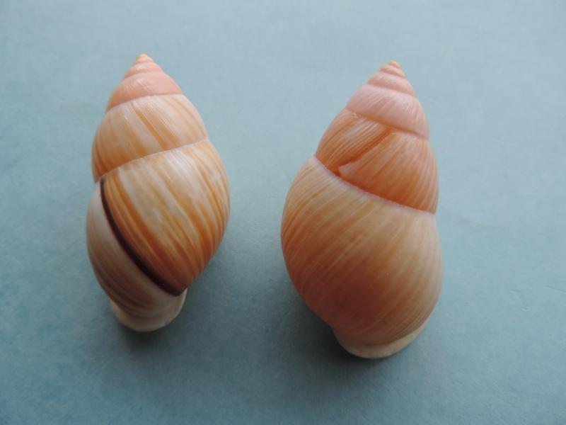 Amphidromus heerianus (Pfeiffer, 1871) Dscn0910