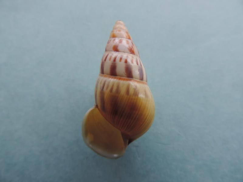 Amphidromus furcillatus (Mousson, 1849) Dscn0913
