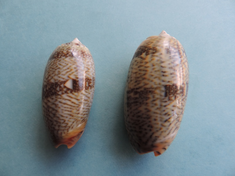 Viduoliva reticulata f. evania (Duclos, 1835) Dscn1023