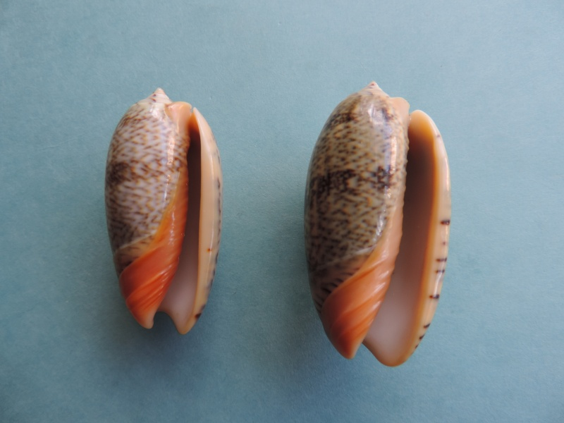Viduoliva reticulata f. evania (Duclos, 1835) Dscn1024