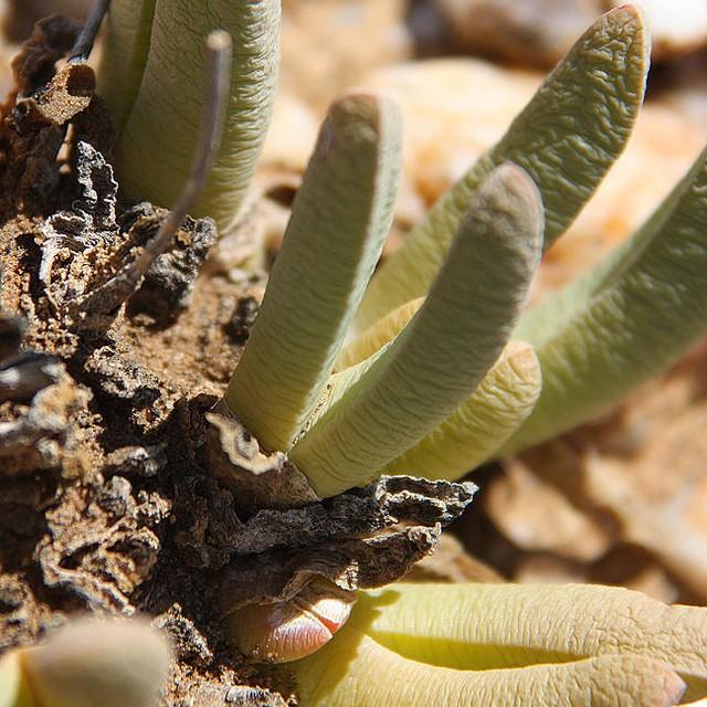 Cheiridopsis denticulata 20fd9710