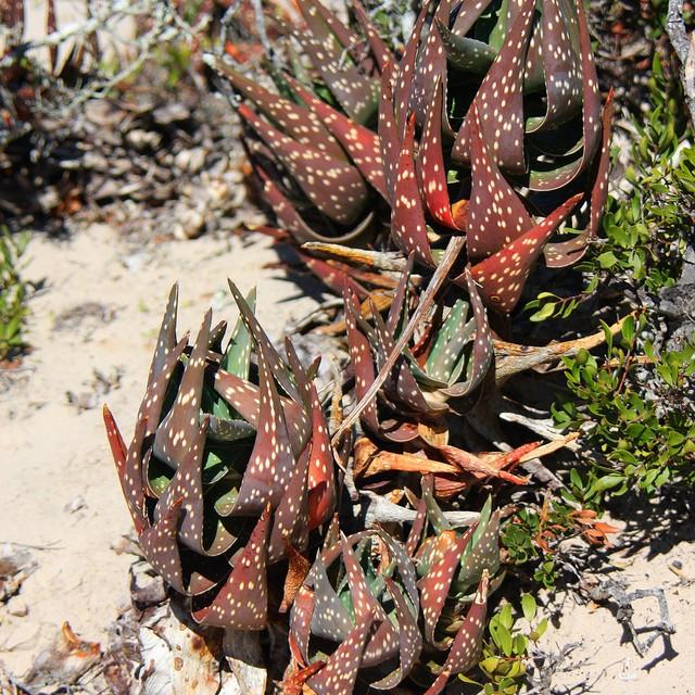 Aloe arenicola 3f435e10