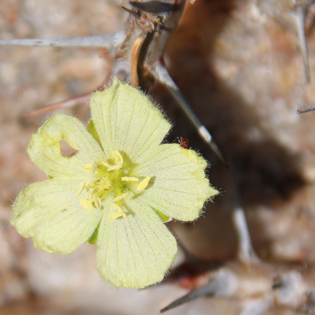 Monsonia ciliata 5117c110