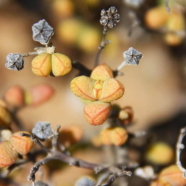 Drosanthemum pulverulentum 5c24a110