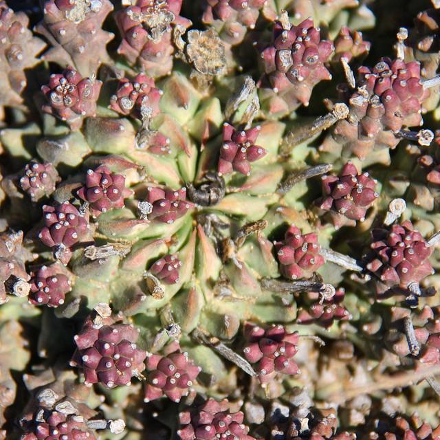 Euphorbia caput-medusae Ac92e710