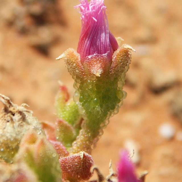Mesembryanthemum crystallinum C2761010