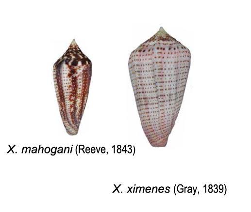 Conasprella (Ximeniconus) mahogani (Reeve, 1843) Sans-t11