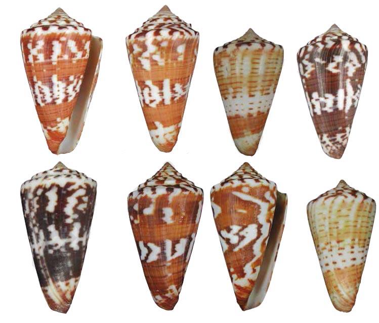 Conus (Strategoconus) splendidulus  GB Sowerby I, 1833 Sans-t13