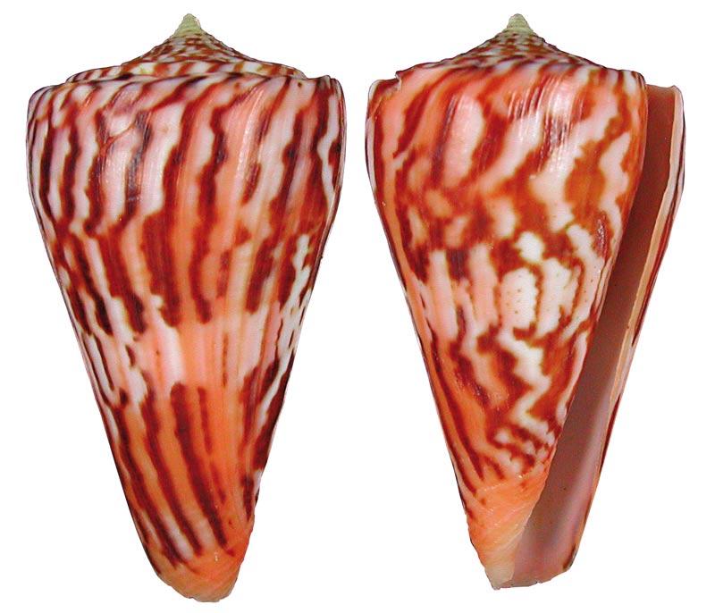 Conus (Dauciconus) norai (da Motta & Raybaudi Massilia, 1992) Sans-t26