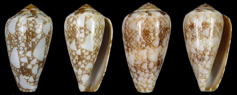 Conus (Darioconus) pennaceus bazarutensis   Fernandes & Monteiro, 1988 Sans-t29