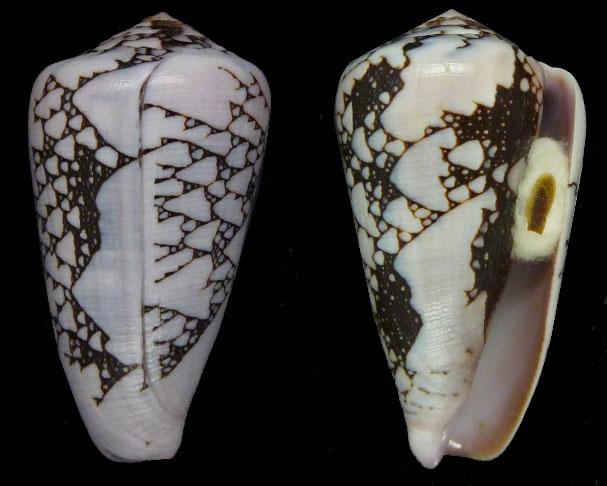 Conus (Darioconus) pennaceus bazarutensis   Fernandes & Monteiro, 1988 Sans-t30