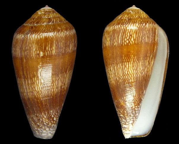 Conus (Darioconus) leviteni   (Tucker, Tenorio & Chaney, 2011) Sans-t32