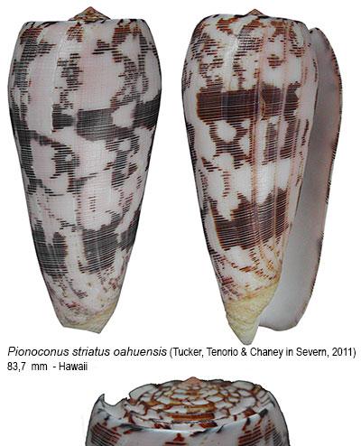 Conus (Pionoconus) striatus oahuensis    Tucker, Tenorio & Chaney, 2011 Sans-t33