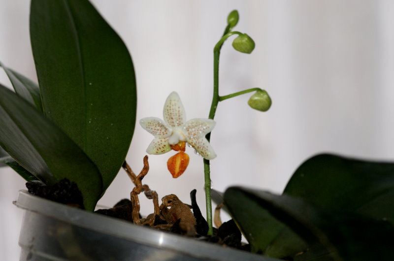 Phalaenopsis! 21_2_110