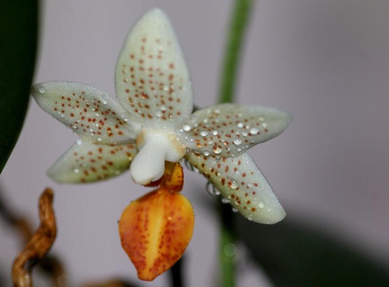 Phalaenopsis! 21_2_210