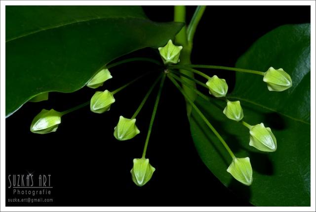 H.multiflora vs. javanica Pk5c8510