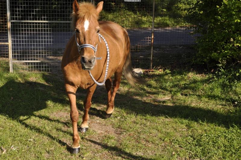PRALINE - poney typée PFS née en 2001 - gardée par sa propriétaire Pralin14