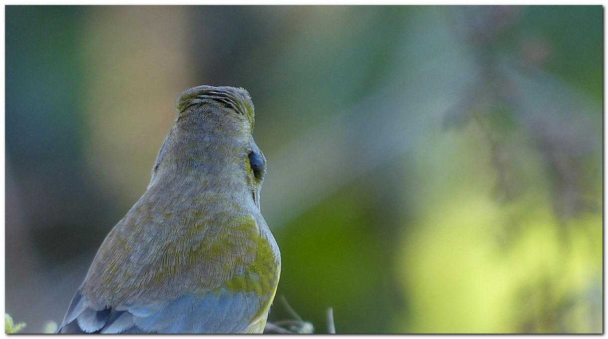 La tique et l'oiseau  Verdie10