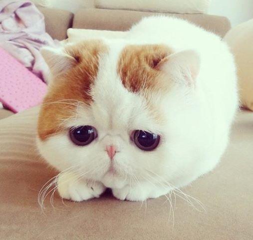 Le chat le plus mignon du monde Snoopy13