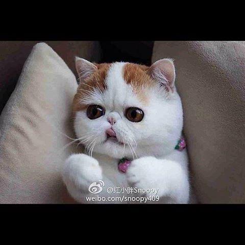 Le chat le plus mignon du monde Snoopy14