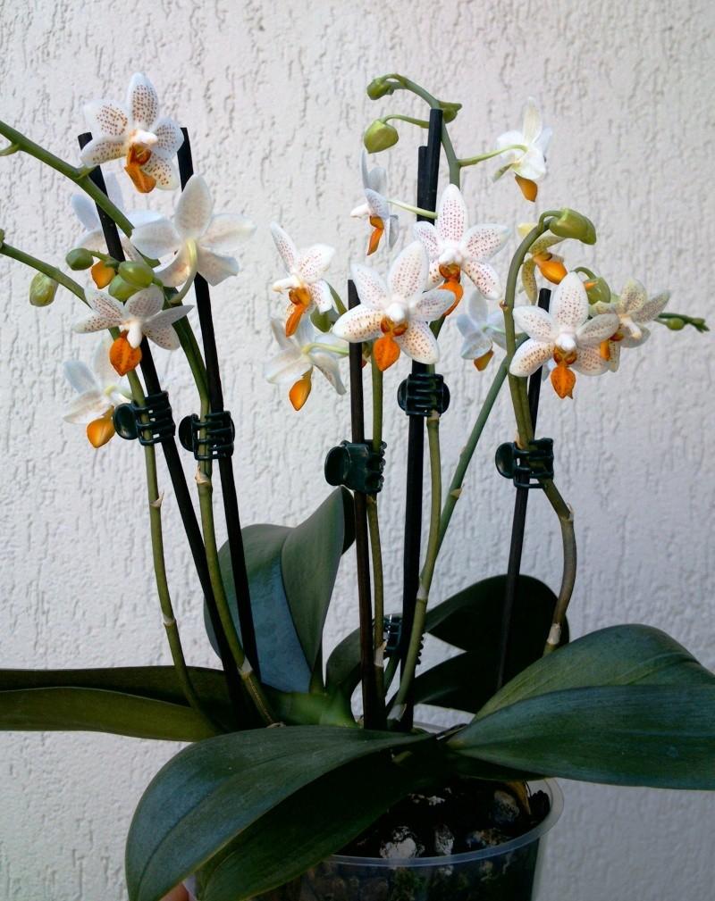Phalaenopsis Mini Mark 110